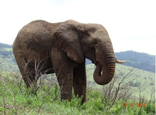 Bull Elephant on our Durban safari tour for Oceana Nautica clients