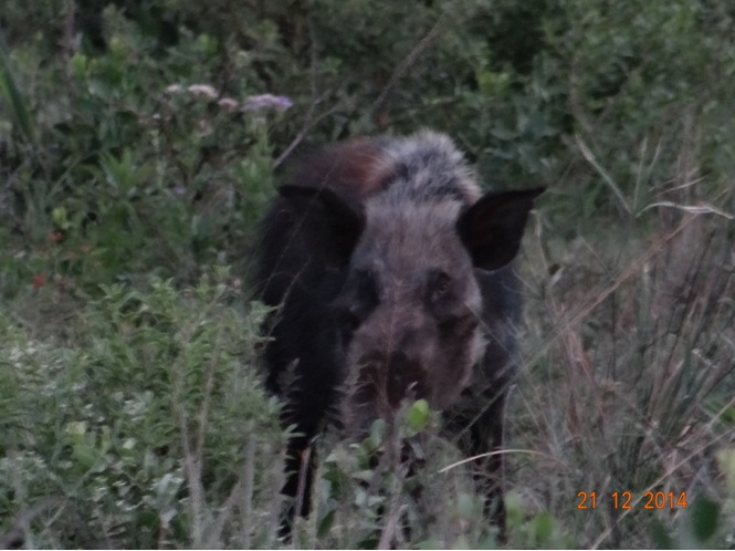 Bush Pig seen on the evening of day two on our Durban safari tour