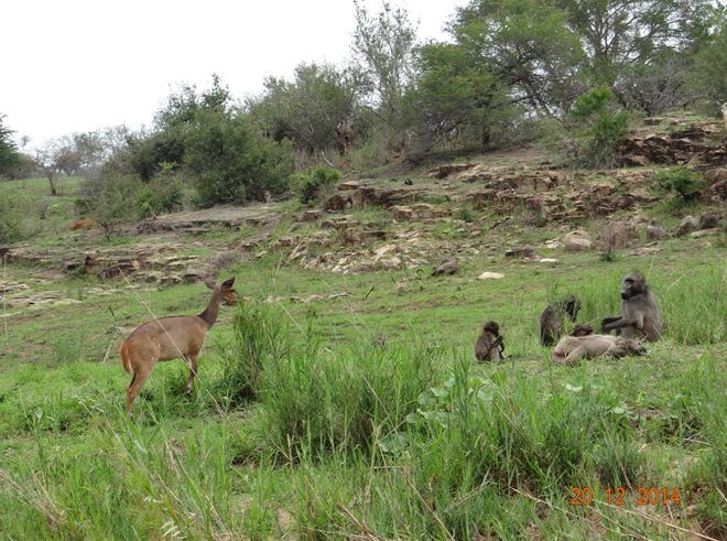 Bush buck and Baboon on our Durban safari tour to Hluhluwe Imfolozi game reserve