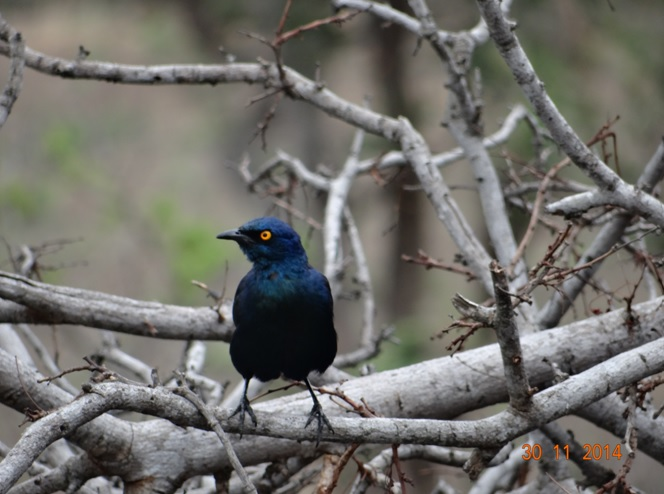 Cape Glossy Starling seen on our Durban day safari tour