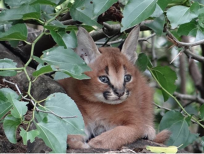 Caracal cub at Emdoneni cat rehab center