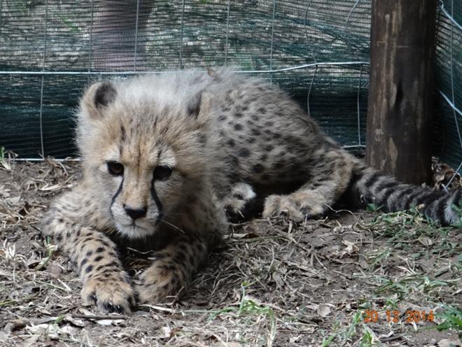 Cheetah cub at emdoneni rehabilitation center on our Durban safari tour