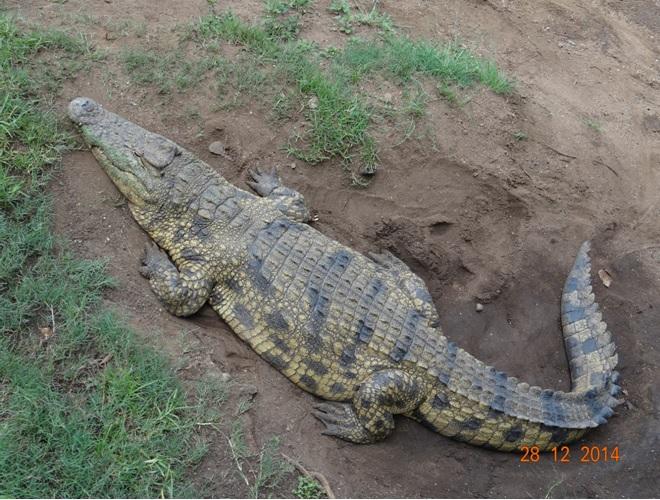 Crocodile on our Durban day safari tour