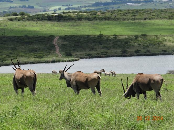 Eland seen on our Durban safari tour