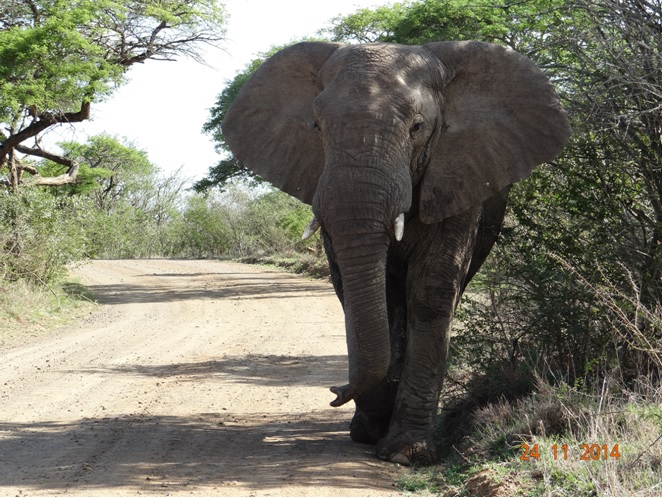 Elephant Bull on our second day of Safari Touring in Hluhluwe Imfolozi game reserve