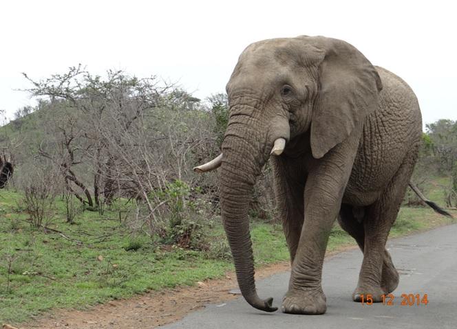 Elephant bull crosses the road on our Durban day safari tour