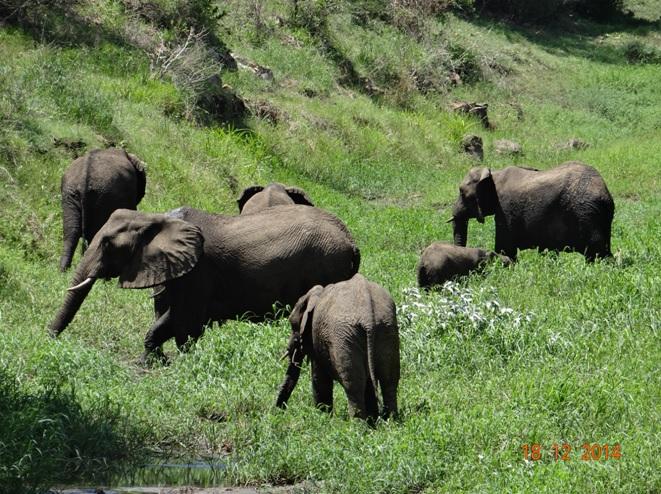 Elephants in Hluhluwe Imfolozi game reserve