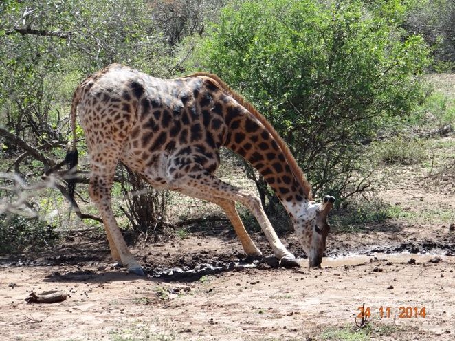 Giraffe drinking water on our Durban Safari