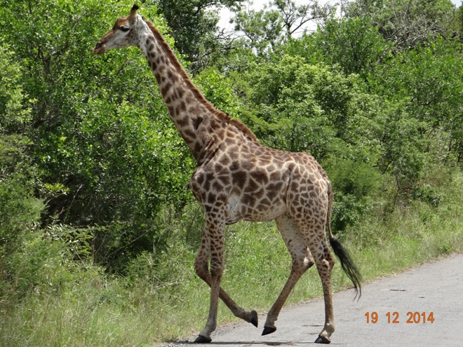 Giraffe in Hluhluwe Imfolozi game reserve on our Durban safari tour