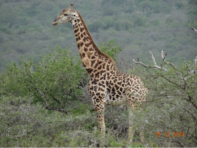 Giraffe male seen on our Durban day safari tour