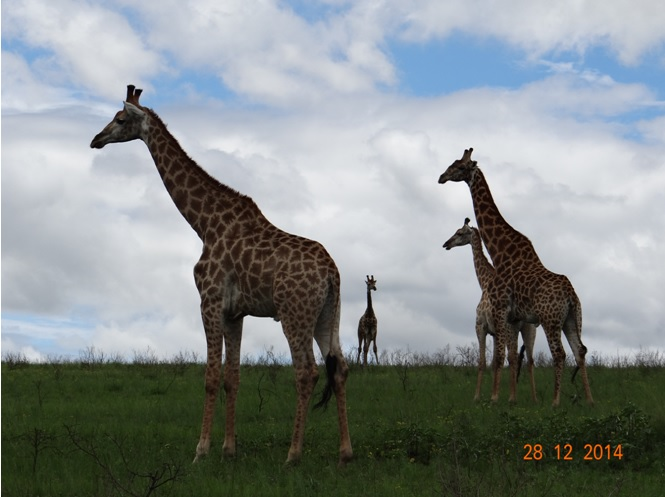 Giraffe seen on our Durban day safari tour