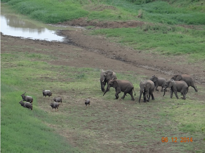 Herd of Elephants chase some Nyalas on our Durban safari tour of Hluhluwe Imfolozi game reserve