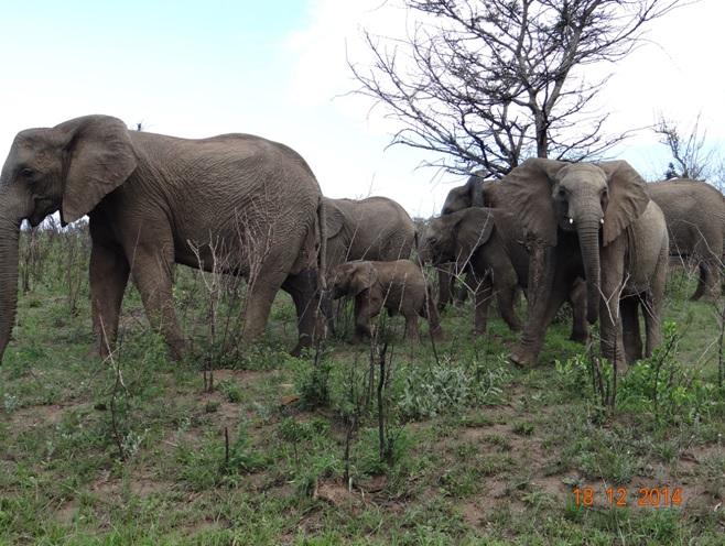Herd of Elephants in Hluhluwe Imfolozi game reserve