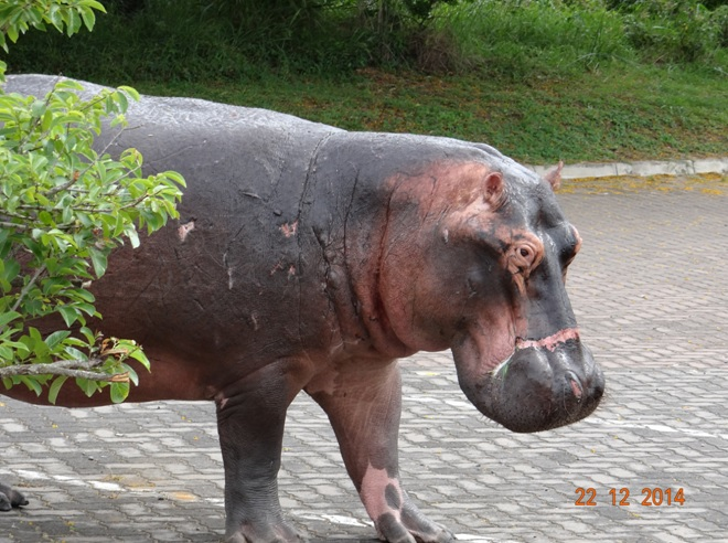 Hippo on the streets of St Lucia during the day on our Durban safari tour