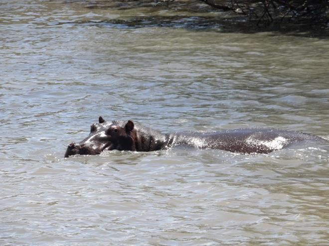 Hippo seen at St Lucia on our Durban safari tour