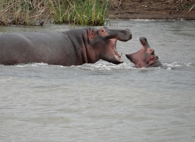 Hippos at St Lucia on the 3rd day of our Durban Safari Tour