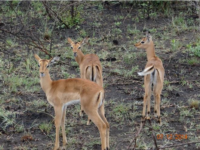 Impala lambs on our Safari tour from Durban KwaZulu Natal