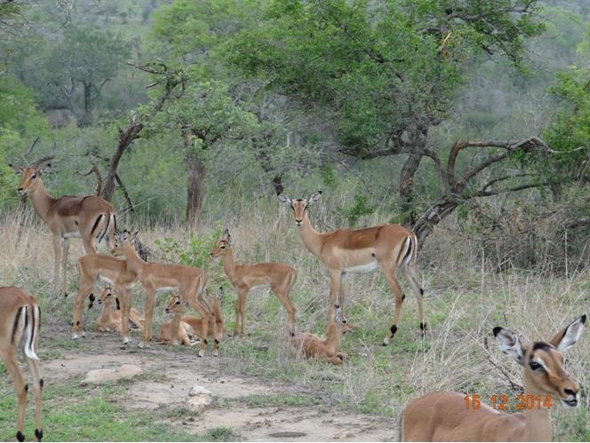 Impalas with their lambs on our Durban day safari tour