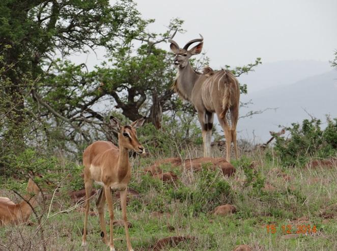 Kudu male and some Impalas seen on our 1 day Durban safari tour