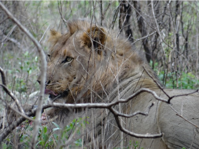 Lion Licks his lips while eating a Zebra on our Durban Safari Tour