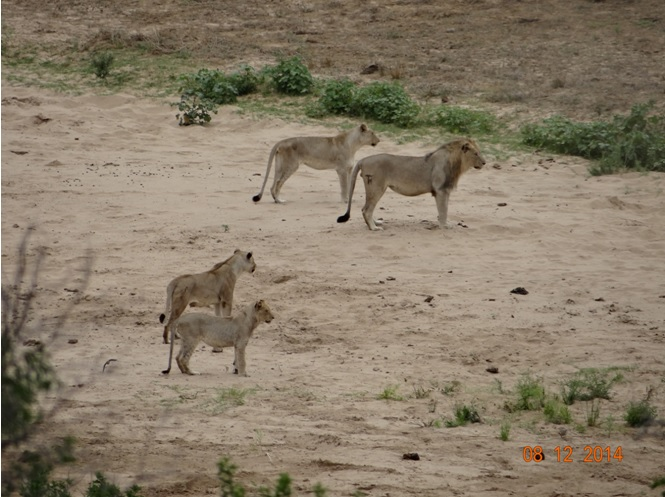 Lions looking on as Buffalo move away from the Umfolozi river during our Durban safari tour