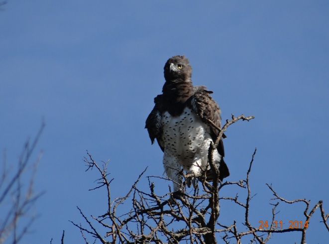 Martial Eagle Africas largest seen on our Durban Safari Tour