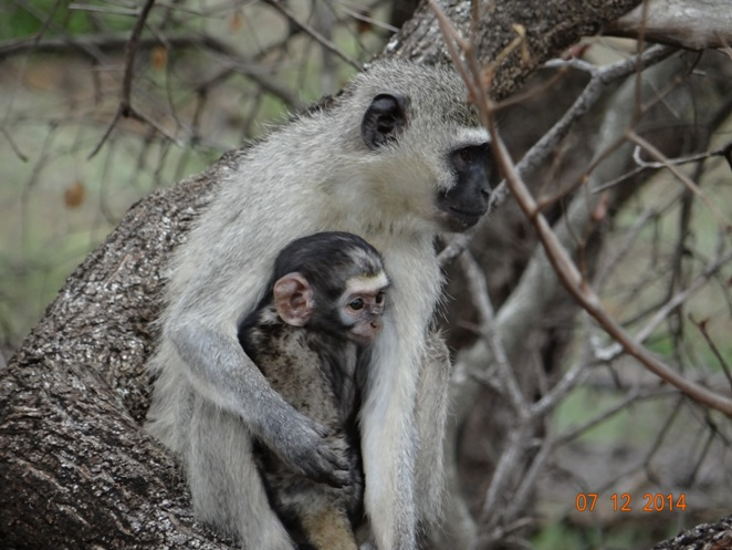 Mom and baby Vervet monkey hold onto each other on our safari tour from Durban