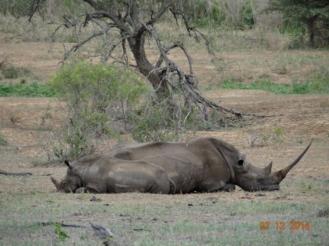 Mother and baby Rhino sleep at midday in Hluhluwe Imfolozi game reserve
