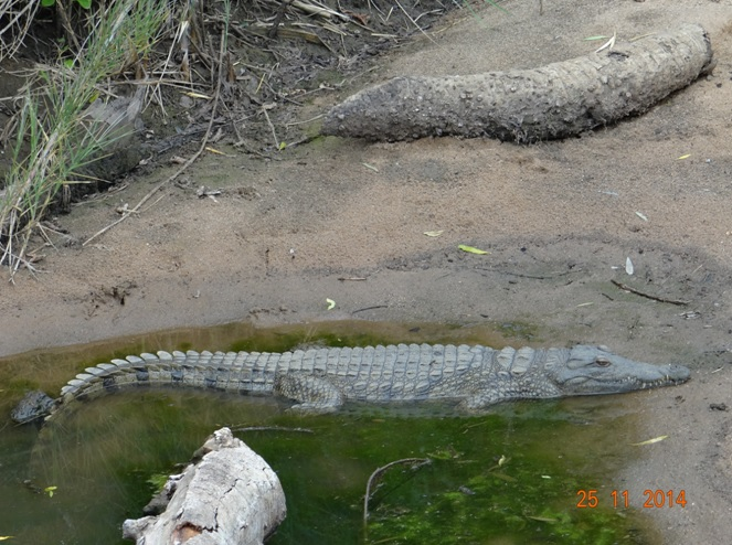 Nile Crocodile seen on the 3rd day of our Durban safari tour