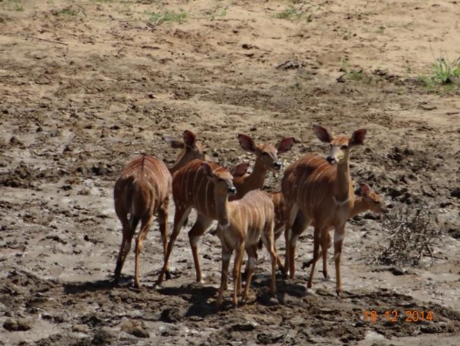 Nyala in Hluhluwe Imfolozi game reserve