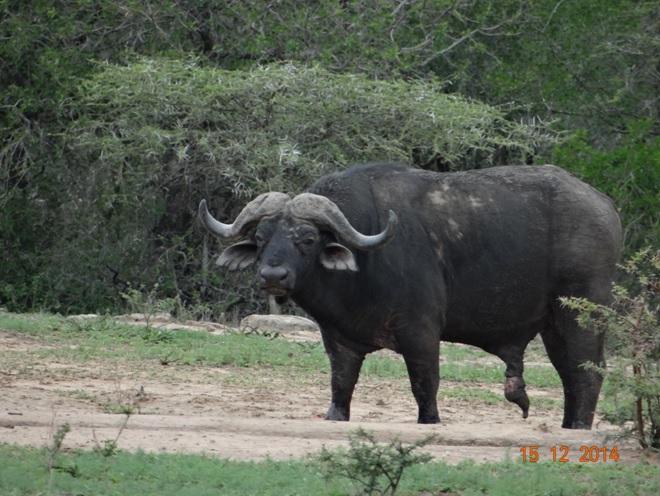Old Buffalo bull seen during our Durban day safari tour