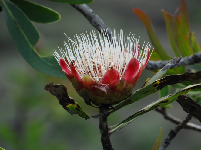 Protea flower in the Drakensberg on our first hike