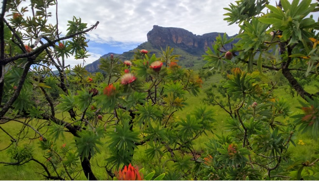 Proteas in flower with the Drakensberg behind seen on our Drakensberg Tour