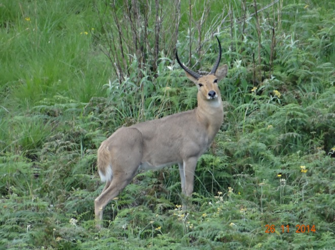 Reedbuck seen in the Drakensberg mountains on a hike