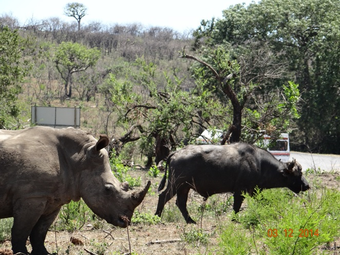 Rhino and Buffalo seen on our Durban day safari tour