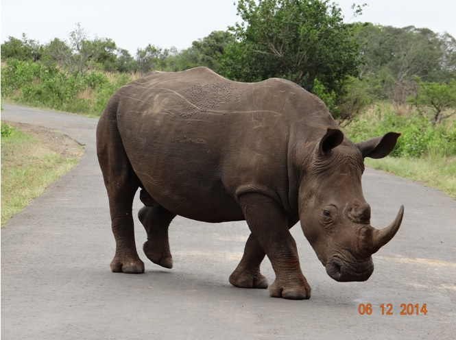 Rhino crosses the road on our Safari tour from Durban