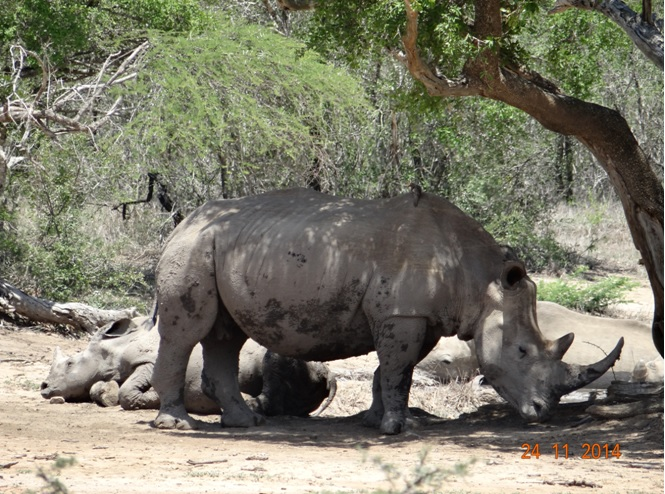 Rhino mother and calf on our Durban Safari Tour