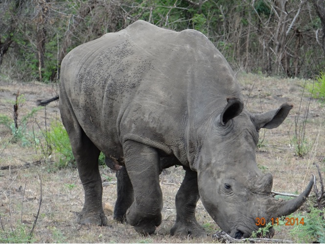 Rhino on our Durban Safari tour