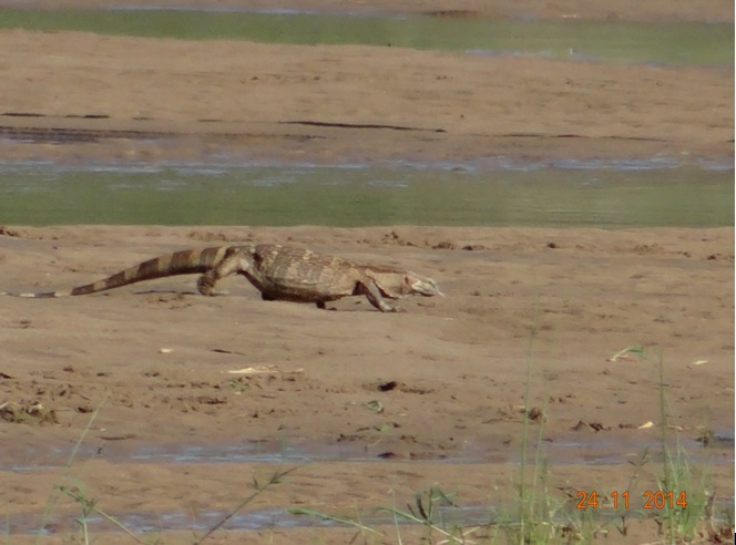 Rock Monitor Lizard walking in the Umfolozi river during our Durban Safari Tour