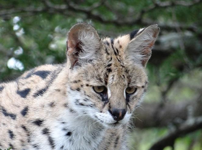 Serval seen on our Durban safari tour at emdoneni lodge