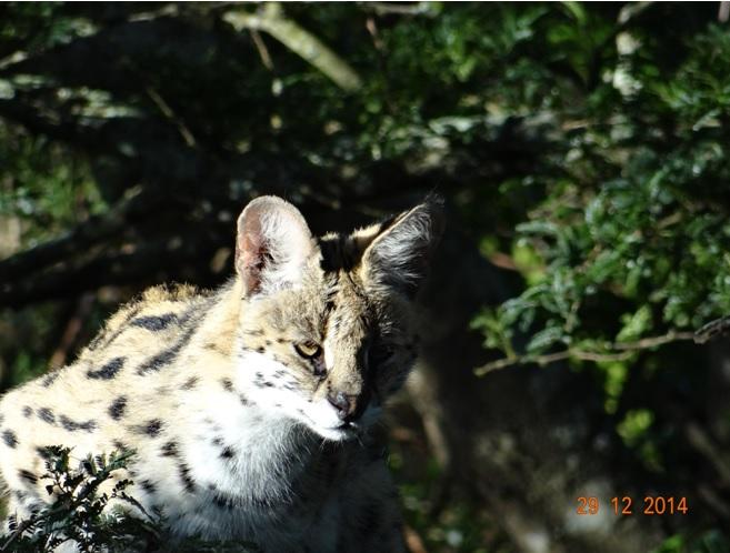 Serval seen on our Durban safari tour