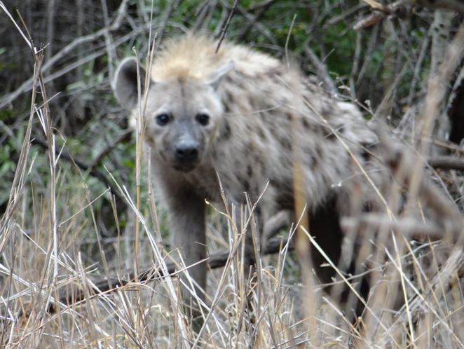 Spotted Hyena seen on our Durban safari tour
