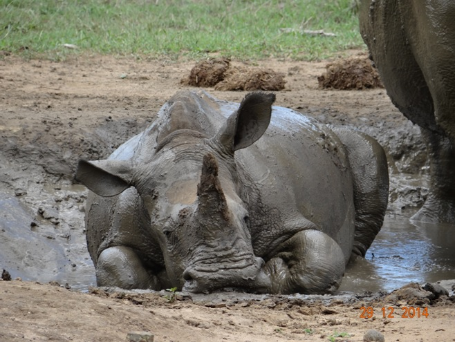 The sweetest thing, a Rhino in the mud during our Durban safari tour