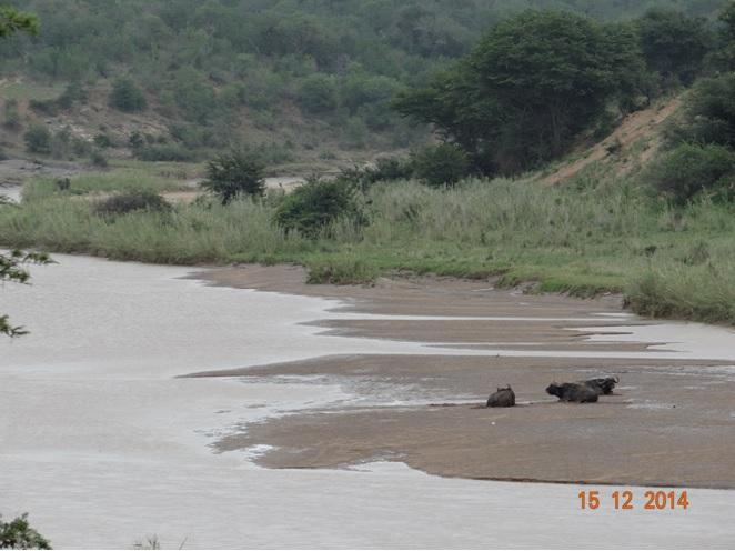 Three Buffalo bulls resting in the Umfolozi river on our Durban day safari tour