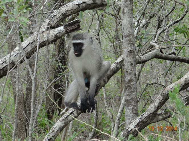Vervet monkey sticks his tongue out at us during our Durban day safari tour