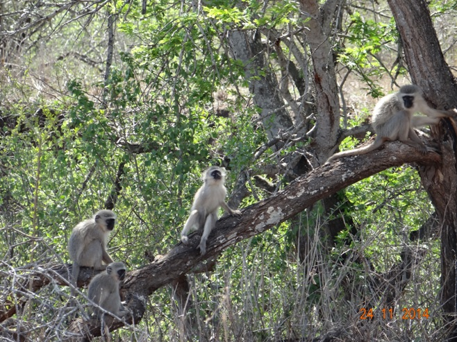 Vervet monkeys siting in the tree on our Safari Tour in Hluhluwe Imfolozi game reserve