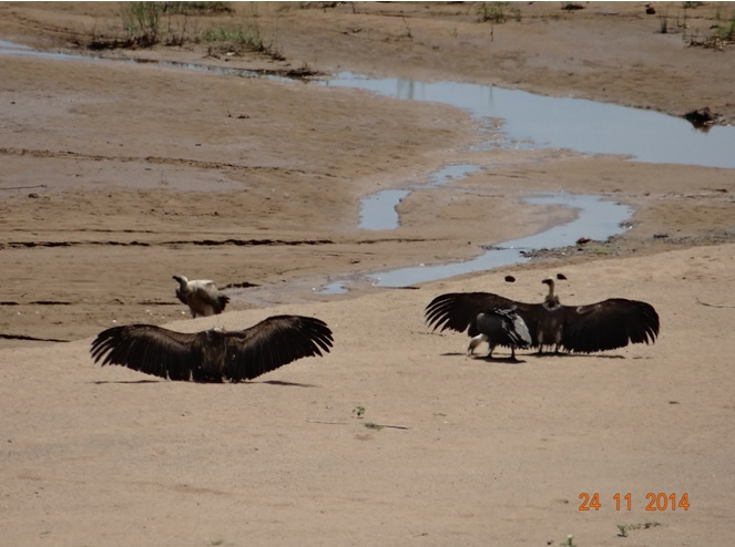 Vultures sun bathing in Umfolozi game reserve during our Durban Safari Tour