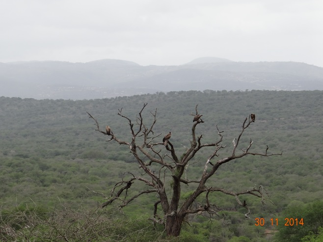 Vultures vegitating in a dead tree on our Safari from Durban