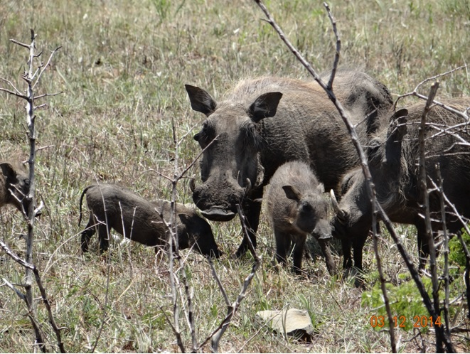 Warthog mother with her piglet on our Durban day safari tour