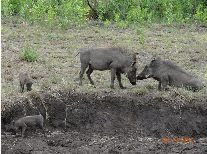 Warthog tussel on our Durban safari in Hluhluwe Imfolozi game reserve